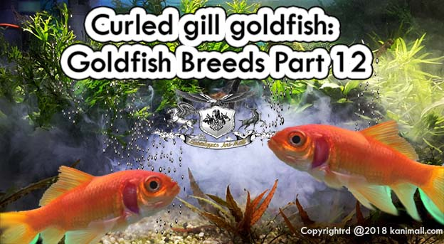 Curled Gill Goldfish Goldfish breeds Part 12